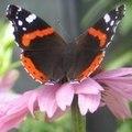 butterfly-ingrid