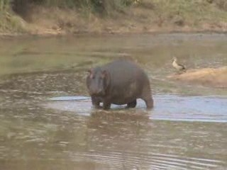 hippopotames brayards