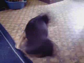 bull terrier toupie