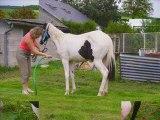 LADY pouliche Paint Horse