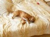 Training a dog to bark - smart puppy barking
