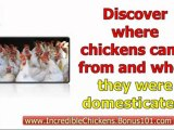 raising chickens backyard - raising chickens for profit