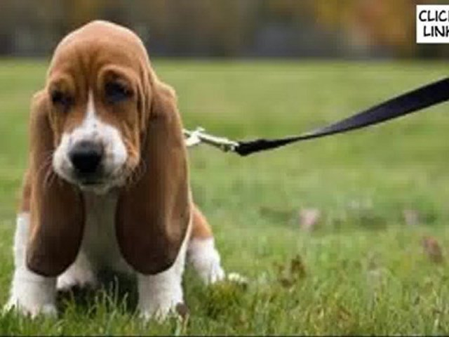 How Train a Dog – Train a Puppy Like a Pro – From Home