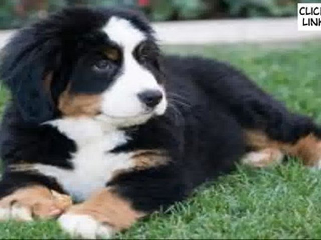 Dog Training – Puppy Training – How to train a dog.