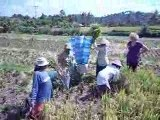 La récolte du riz dans les rizières à Bali