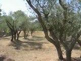 Saint-Paul-de-Mausolée, oliviers et cigales
