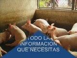 Porcicultura tecnificada, produccion de cerdos
