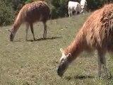 Strange French Farm Animals and Pets