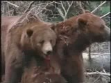 MUST SEE - Grizzly Bear vs Grizzly Bear, versus vs