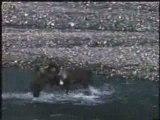 grizzly bear vs caribou, fight versus vs