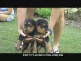 Airedale puppies - Oorang Airedale puppies
