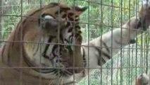 Lions, Tigers, Leopards - BIG CAT CAMP!
