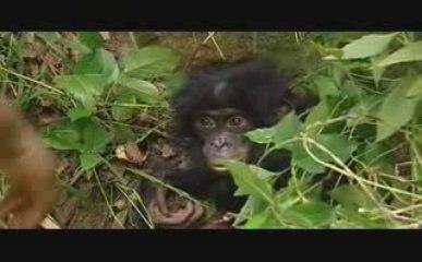 Nomades TV: Bonobo, le dernier refuge