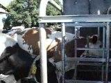 MOV01229 vaches  a  la  traite....