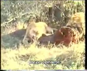 LION KILL- RULES OF NATURE 2 (watch at ur own risk)