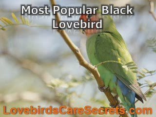 Black Lovebird Types and Their Different Characteristics