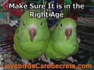 Helpful Information About Breeding Lovebirds