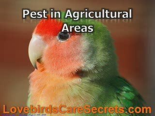 Do You Recognize Peach Lovebird Variations and Behavior?