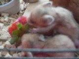 Bébés hamsters (Trop mignon!!!)