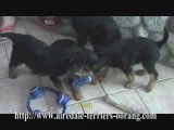Airedale Terrier Puppies Playing Football -Oorang Airedales