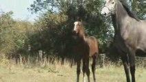 Foal stallion by Le Tot de Semilly