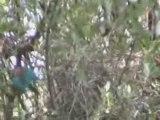 Chants d'oiseaux de Tanzanie