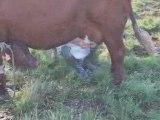 Traite à la main des vaches Salers
