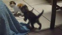 Les petits chatons qui jouent ensemble à environ 2 mois