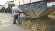 Setton Farms 2009 Pistachio Harvest