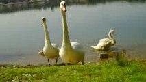 Кормление лебединой семьи на озере Гревенхоф_Кёльн