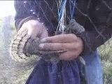 torcol fourmilier au controle