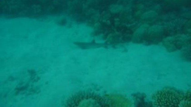 Great Barrier Reef - Fish Bowl - Whitetip Reef Shark