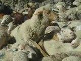 le mouton qui fait du saute mouton!!!!