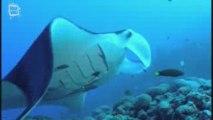 Manta ray - Raie Manta (Manta birostris) 1