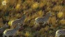 Plains zebra - Zebre des plaines (Equus quagga) 2