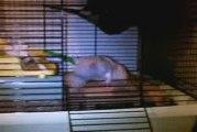 un rat faisant ses réserves