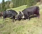 Combats Vache d'herens
