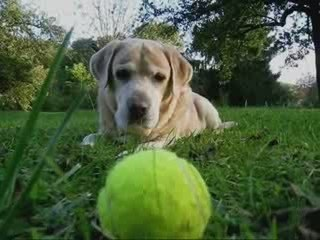IL EST LIBRE MAX LOVELY DOG CLIP MUZIK CHIEN LABRADOR