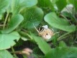 L'attaque d'une araignée sur sa toile!