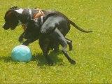 amstaff d'amour, non se ne sont pas des chiens dangereux!!!