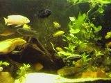 aquarium 410 litres cichlidés