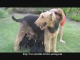 Airedale Puppies - Oorang Airedales