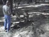 Forêt de cèdres à Azrou (didicha88)
