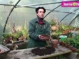 En pot, la jacinthe se force à l'ombre