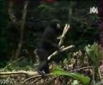 animaux intelligent - le chimpanzé et le perroquet gris