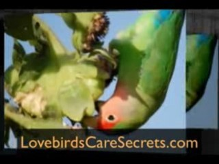 Lovebirds Pictures - Amazing Compilcation