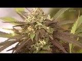 Drogues Et Cerveau Cannabis 1