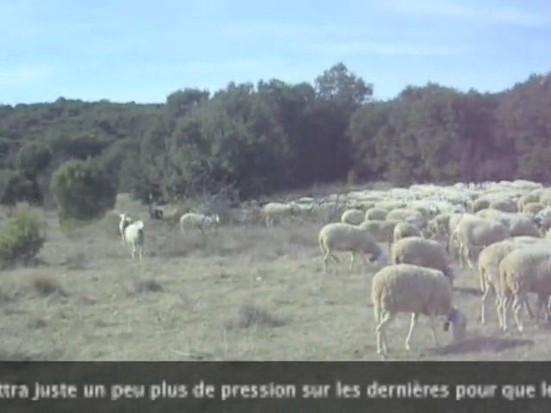 Urkan chien berger de Beauce balance derrière le troupeau