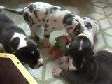 mes bébés dogues a vendre ils ont un mois