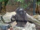 gibbon agile. Lulu 48 ans ! Le Blog de Milardello.